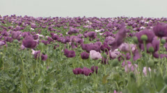 Opium poppy flower field sway in the wind Stock Footage