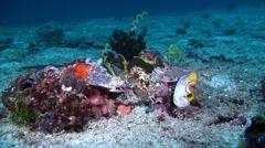 Southeast Asian blackstripe dottyback swimming, Pseudochromis perspicillatus, Stock Footage