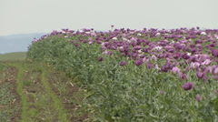 Violet opium poppy flower field - stock footage