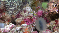 Striped poison-fang blenny mimic hovering, Petroscirtes breviceps, HD, UP21931 Stock Footage