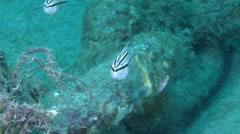 Rifle cardinalfish feeding, Ostorhinchus kiensis, HD, UP21957 Stock Footage