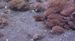 Yelloweye cardinalfish courting, Ostorhinchus monospilus, HD, UP21961 Stock Footage