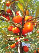 ripe sea-buckthorn berries - stock photo
