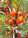 Stock Photo of ripe sea-buckthorn berries