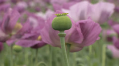 Opium poppy pods and flowers in field - stock footage
