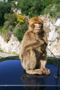 Stock Photo of barbaby ape sitting on wall overlooking the port area, gibraltar, uk, western