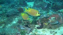 Coral rabbitfish feeding, Siganus corallinus, HD, UP21996 Stock Footage