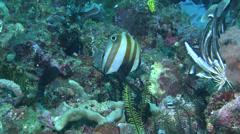 Two-eyed coralfish feeding, Coradion melanopus, HD, UP22000 Stock Footage