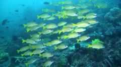 Common bluestripe snapper swimming and schooling, Lutjanus kasmira, HD, UP22001 Stock Footage