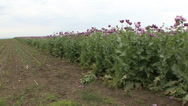 Stock Video Footage of Opium poppy pods flower field 6