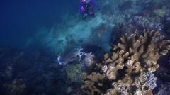 Broadclub cuttlefish territorial, Sepia latimanus, HD, UP22030 Stock Footage