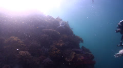 Broadclub cuttlefish swimming on coral reef, Sepia latimanus, HD, UP22031 Stock Footage
