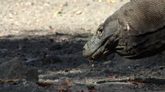 Komodo dragon, Varanus komodoensis, HD, UP22035 Stock Footage