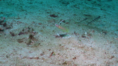 Red-striped shrimpgoby swimming, Stonogobiops yasha, HD, UP22039 Stock Footage