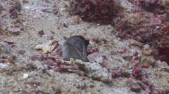 Goldspecs jawfish looking around, Opistognathus randalli, HD, UP22047 Stock Footage