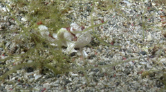 Juvenile Painted frogfish at night, Antennarius pictus, HD, UP22063 Stock Footage