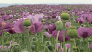 Stock Video Footage of Opium poppy pods flower field 33