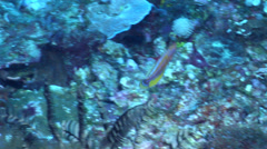 Yellow-fin flasher-wrasse flashing colours, Paracheilinus flavianalis, HD, - stock footage