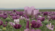 Stock Video Footage of Opium poppy pods flower field 30