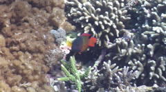 Male adult Firetail devil swimming, Labracinus cyclophthalmus, HD, UP22122 Stock Footage