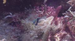 Juvenile Barhead damsel swimming, Neoglyphidodon thoracotaeniatus, HD, UP22135 Stock Footage