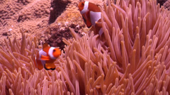 False clownfish swimming, Amphiprion ocellaris, HD, UP22146 - stock footage