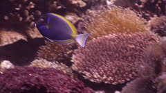 Powderblue surgeonfish swimming, Acanthurus leucosternon, HD, UP22147 Stock Footage