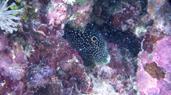 Comet, Calloplesiops altivelis, HD, UP22148 Stock Footage