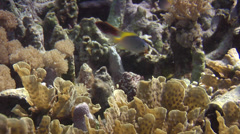 Blue damsel swimming, Pomacentrus lepidogenys, HD, UP22150 Stock Footage