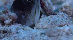 Goldspecs jawfish looking around, Opistognathus randalli, HD, UP22157 Stock Footage