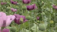 Stock Video Footage of Opium poppy pods flower field 32