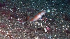 Flagtail shrimpgoby, Amblyeleotris yanoi, HD, UP22195 Stock Footage