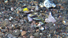Filament-finned shrimpgoby swimming, Stonogobiops nematodes, HD, UP22198 Stock Footage