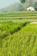 White house in Green barley farm - stock photo
