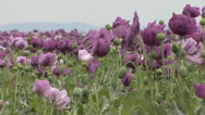 Stock Video Footage of Opium poppy pods flower field 9
