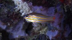 Rubyspot cardinalfish swimming at night, Ostorhinchus rubrimacula, HD, UP22230 Stock Footage