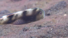 Whitepatch razorfish hovering, Iniistius aneitensis, HD, UP22261 Stock Footage