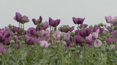 Opium poppy violet flowers swaying in wind Stock Footage