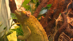 Chameleon close up Stock Footage