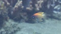 Yellowback damselfish swimming, Chrysiptera rex, HD, UP22264 Stock Footage