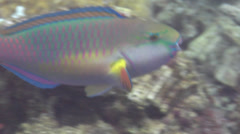 Male adult Pink-margined Parrotfish swimming on coral reef, Chlorurus Stock Footage