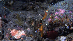 Blue and white tip orange slug walking, Thecacera pacifica, HD, UP22327 Stock Footage