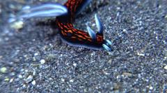 Blue gill orange line black slug walking, Roboastra gracilis, HD, UP22329 Stock Footage