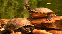 Two turtles are relaxing on a wooden trunk Stock Footage