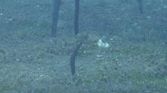 Barnes' garden eel feeding on seagrass meadow, Gorgasia barnesi, HD, UP22360 Stock Footage