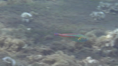 Male adult Goldstripe wrasse swimming, Halichoeres hartzfeldii, HD, UP22363 Stock Footage
