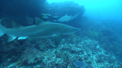 Grey nurse shark swimming on rocky reef, Carcharias taurus, HD, UP22385 Stock Footage