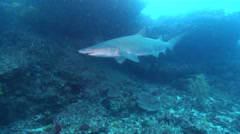 Grey nurse shark swimming on rocky reef, Carcharias taurus, HD, UP22387 Stock Footage