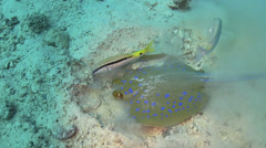 Blue Spotted stingray search food Stock Footage