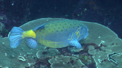 Yellow boxfish swimming, Ostracion cubicus, HD, UP22397 Stock Footage